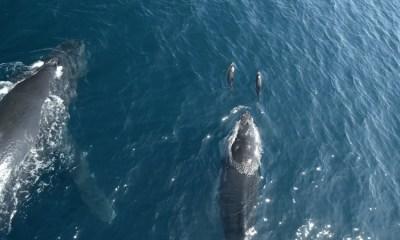 Delfines, Leones Marinos, Ballenas, Juntos, Nadar, Monterey, Video