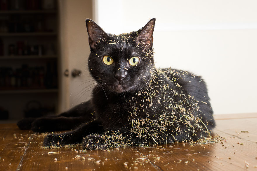 gatos-drogados-catnip-fotos-andrew-marttila-menta-de-gato