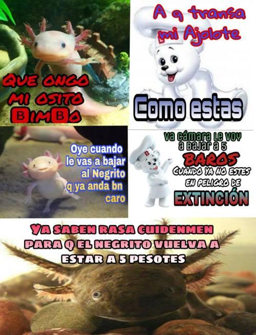 memes-conservacion-axolotl