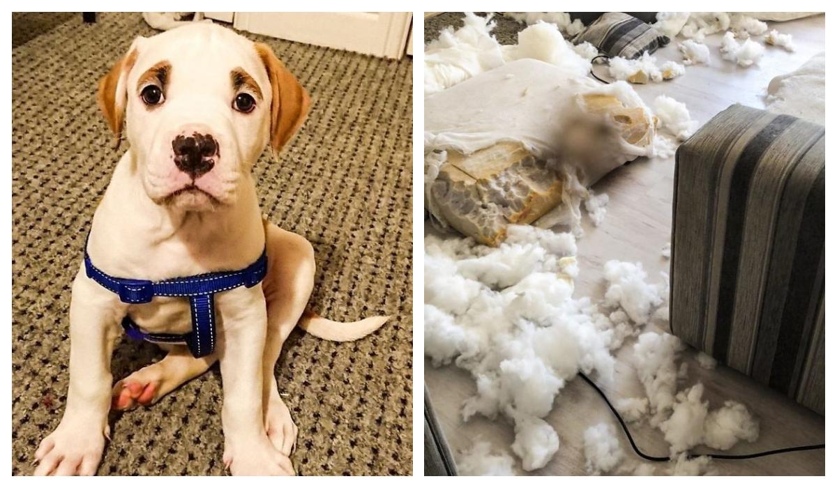 Cachorro Cejas esponjosas Destruyó sofa de 2500 euros
