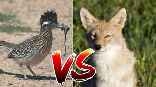 correcaminos-coyote-encuentro-vida-real-video-youtube
