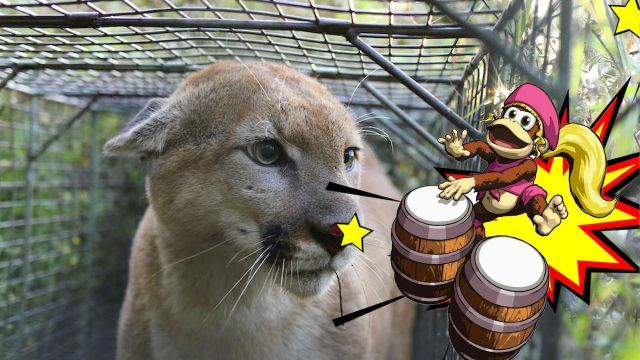 Animal-Salvaje-Tambores-Puma-Ahuyentar