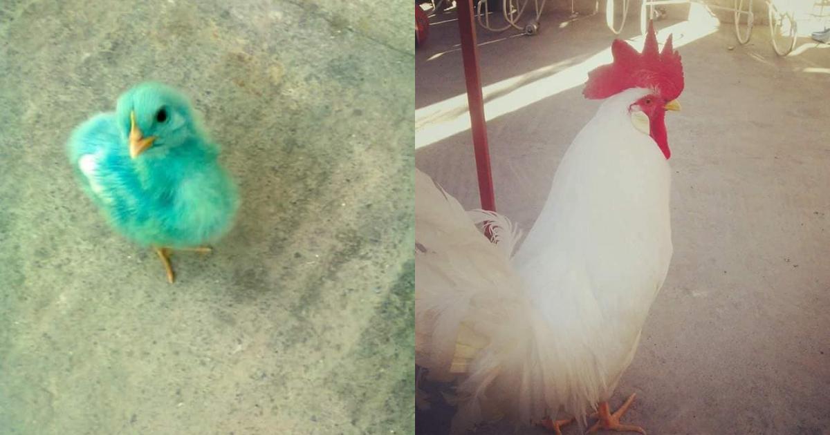 Pollito De Colores Sobrevive Se Transforma Gallo, Pollito De Colores, Pollos De Colores, Gallos, Gallo Blanco, Gallo