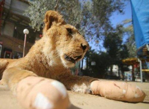 Extirpan garras a leona para atraer visitas