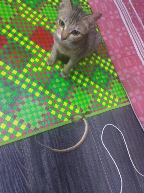 Gatito destruye audífonos y los repone con serpiente
