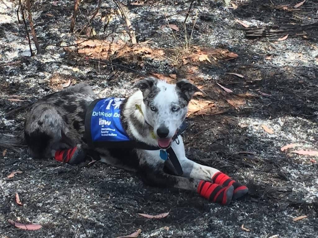 Oso: el perro que rescata koalas de incendios en Australia