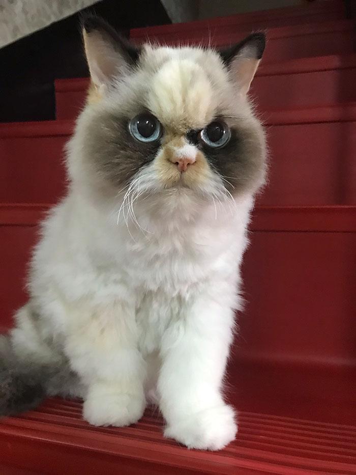 El nuevo Grumpy Cat