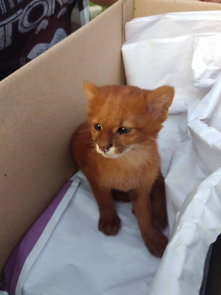 Mujer adopta gatito que resultó ser un puma salvaje