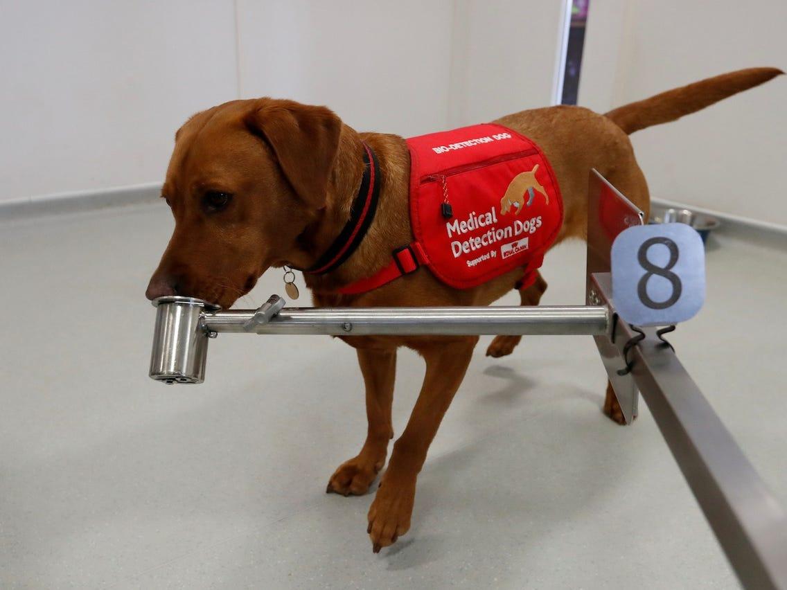 Entrenan perritos para detectar covid y podrían salvarnos del Coronavirus