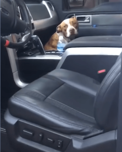 Perro se esconde en camioneta para que lo adopten