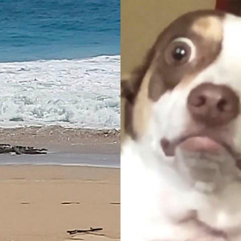 Enorme cocodrilo aparece en las playas de Acapulco y asusta a los habitantes