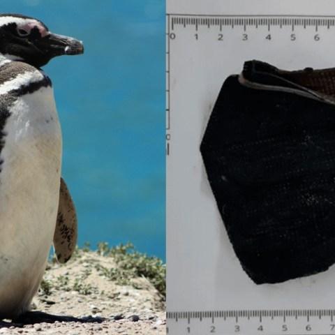 Encuentran a pingüino muerto en el mar tras ingerir cubrebocas
