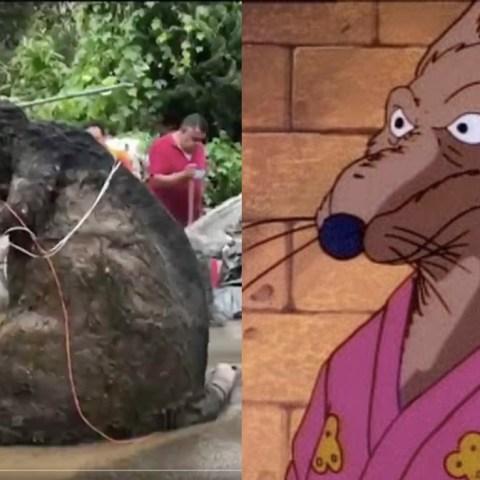 Encuentran a rata gigante en coladeras de la Ciudad de México