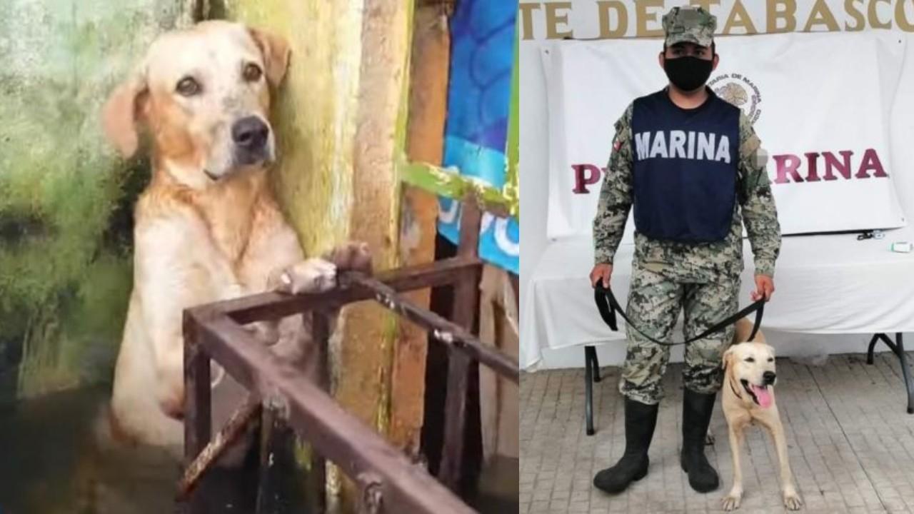 La Secretaría de Marina adoptó al perro que rescató en las inundaciones de Tabasco
