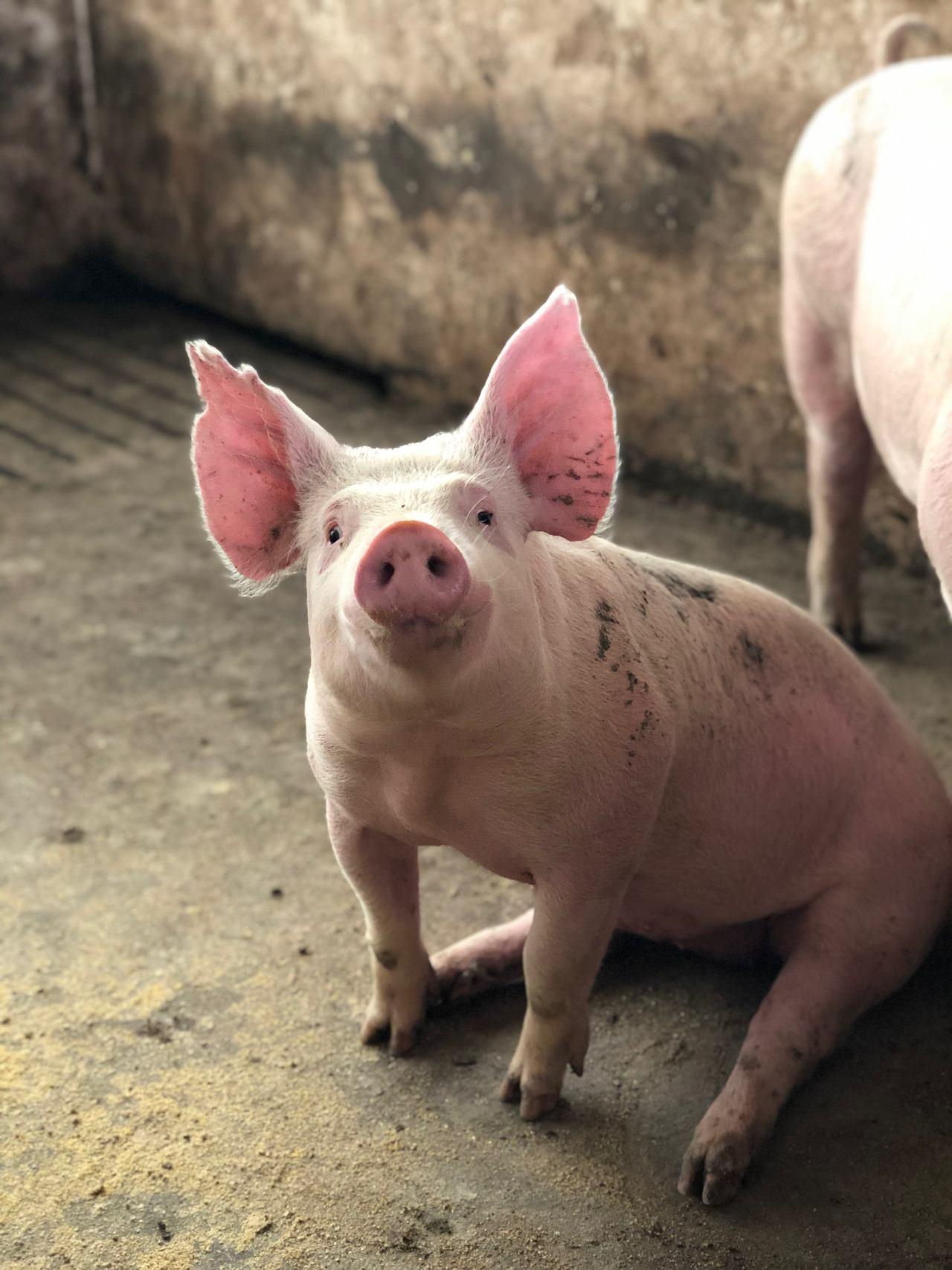 Cerdos yorkshire pueden jugar videojuegos