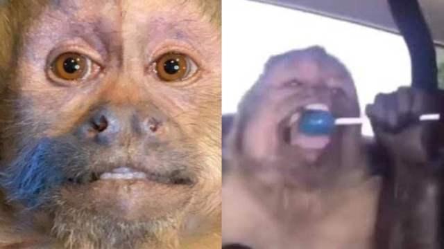 Muere George, el mono famoso de TikTok por su paleta azul
