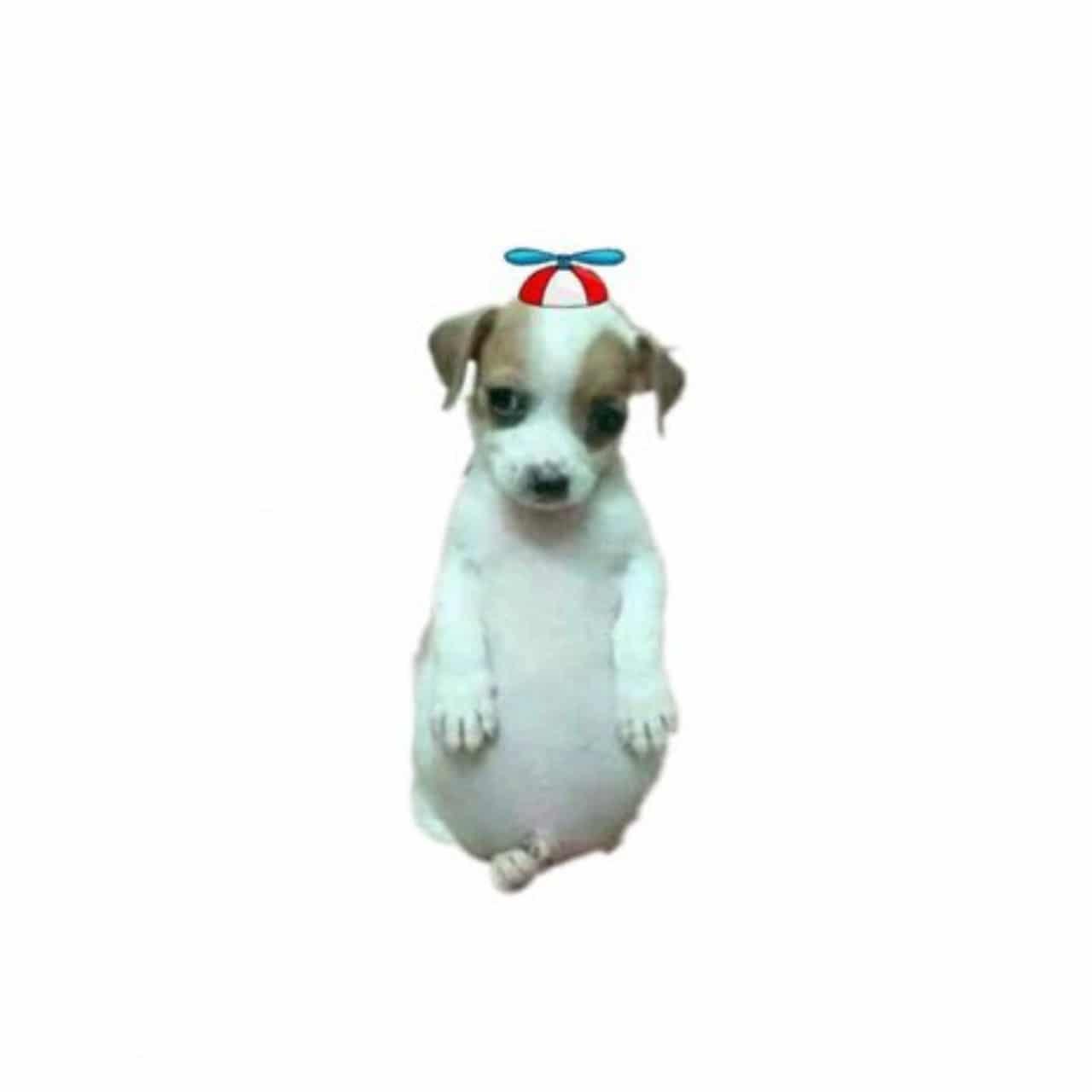 Meme del perrito panson con gorrito