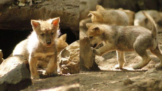 Nacen 5 lobos mexicanos en el Zoológico de Chapultepec y son hermosos