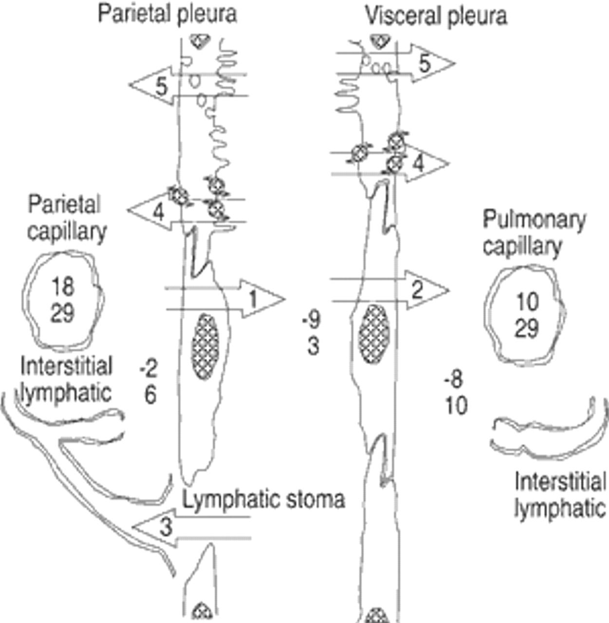 Physiology And Pathophysiology Of Pleural Fluid Turnover