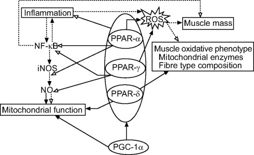 「pgc-1α ppar」の画像検索結果