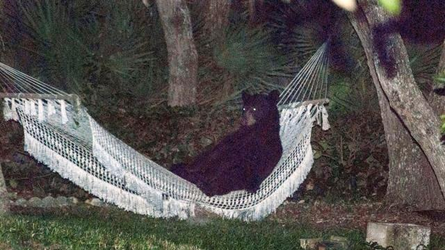 A black bear was found lounging in a hammock in Daytona Beach