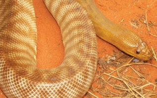 snakes Northern Territory Archives | Erldunda Roadhouse