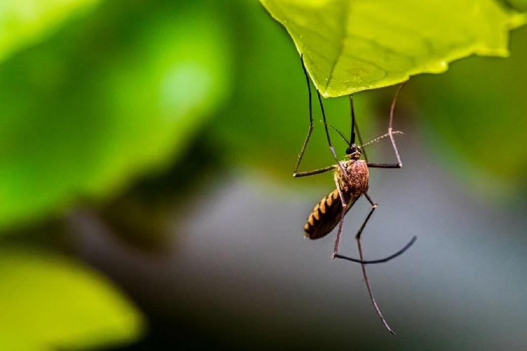 ZANZARE DI MALARIA