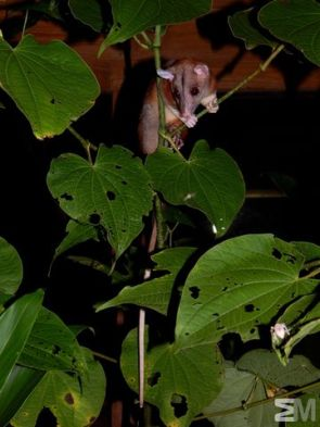 Caluromys derbianus (Bocas del Drago, Bocas del Toro, Panama)