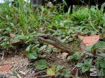 Chironius exoletus (Itacoatiara, Amazonas, Brazil)