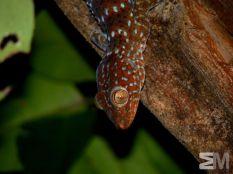 Gekko gecko (Ko Tao, Changwat Surat Thani, Thailand)