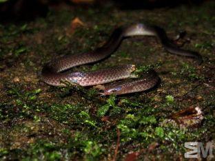 Geophis hoffmanni (San Luis de Monteverde, Puntarenas, Costa Rica)