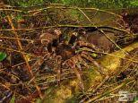 Megaphobema mesomelas (San Luis de Monteverde, Costa Rica)