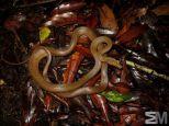 Senticolis triaspis (San Luis de Monteverde, Puntarenas, Costa Rica)