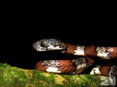 Sibon dimidiatus (San Luis de Monteverde, Puntarenas, Costa Rica)