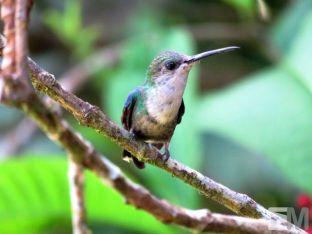 Thalurania colombica (Rambala, Bocas del Toro, Panama)