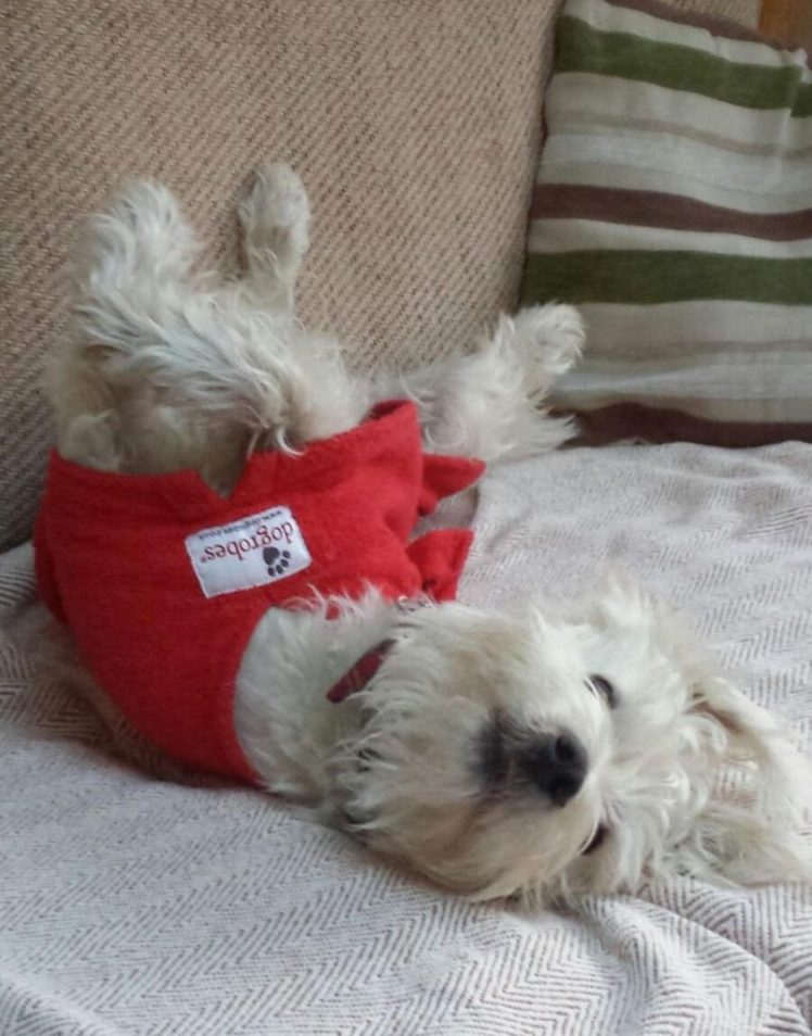 Ernie upside-down on the sofa asking for tummy rubs while wearing his Dogrobes drying coat
