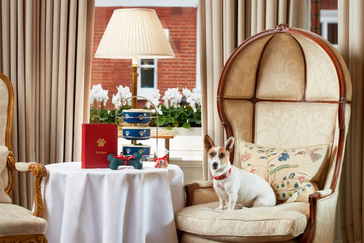 A dog enjoys the afternoon tea at Egerton House Hotel