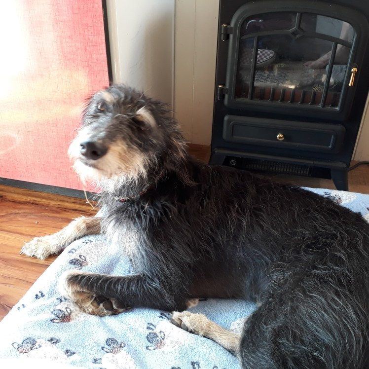 Wookie, the resident lurcher at The Hut in Iford