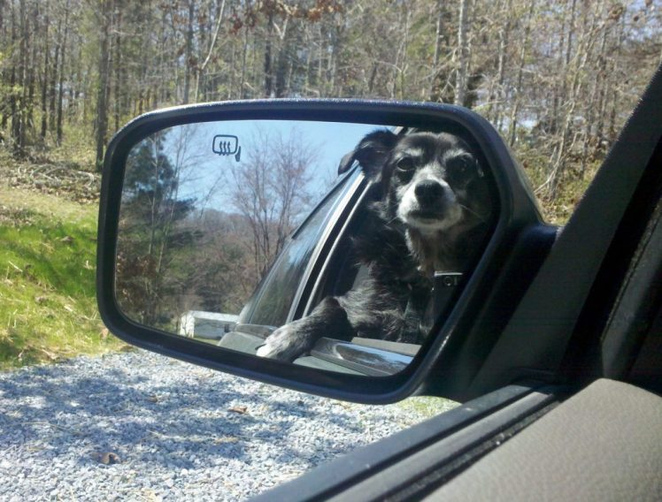 Mirror view of crossbreed, Sally Girl, enjoying a ride in the car