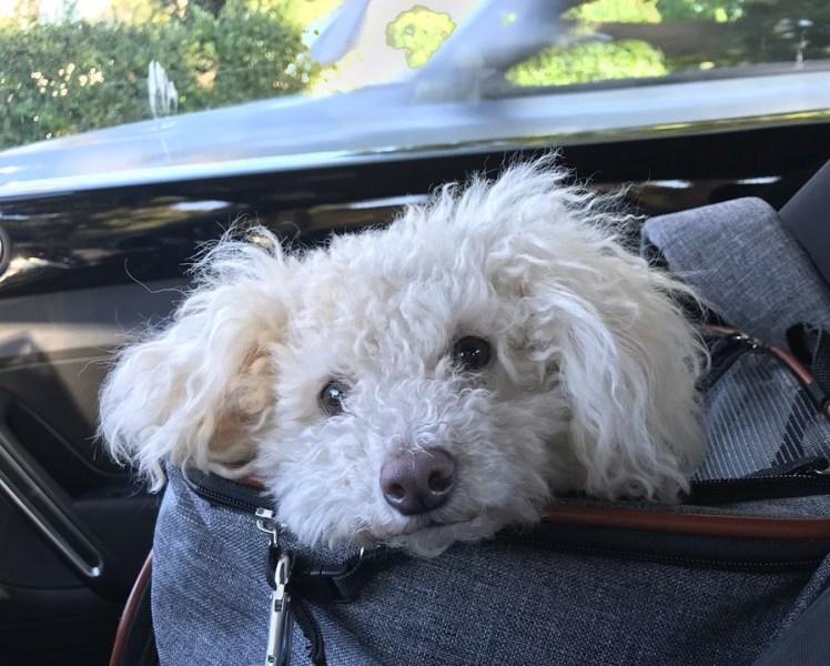 Dog in car travel seat