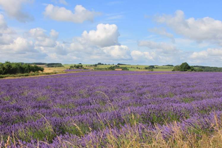 Fields of lavender in the Cotswolds