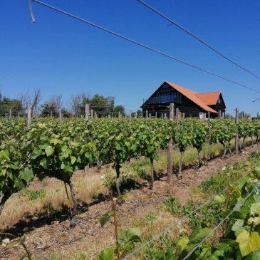 Clayhill Vineyard in the sunshine
