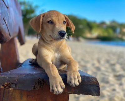 cachorro araçatiba
