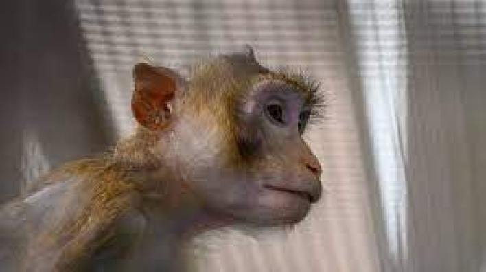 Maymunlar Başka Türlerle Nasıl İletişim Kuruyor Maymun Aksanı