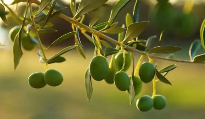 Zeytin Dalı anlamı nedir? Zeytin Dalı ne demek?