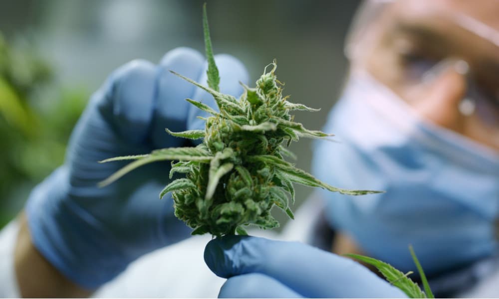 Scientists Find Cannabis Compound More Effective Than Aspirin for Pain Relief