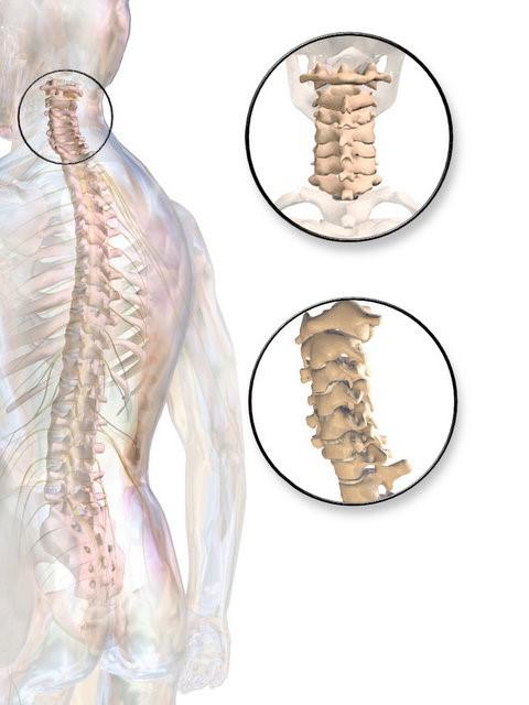 La columna cervical (cuello)