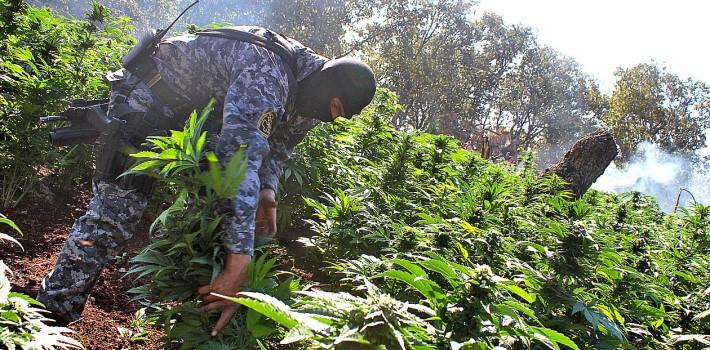 Decomiso de plantios de Marihuana en el municipio de Guachinango