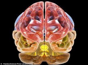 brain tissue neanderthal