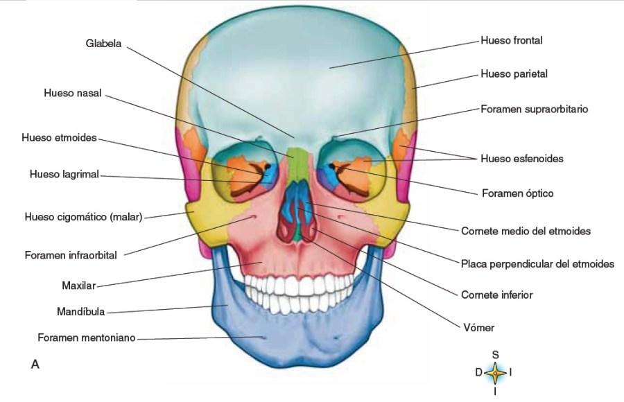 Huesos desl cráneo